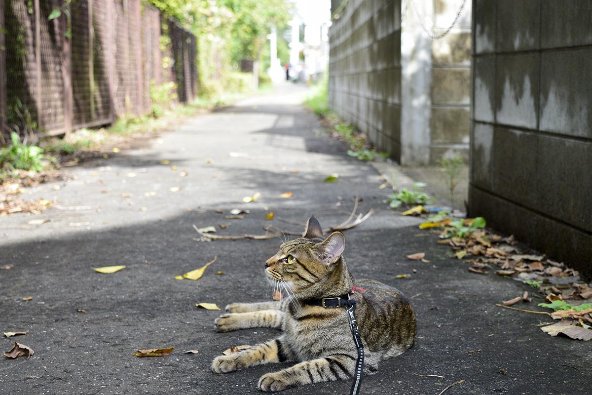 散歩道で休憩中鳥を見上げるキジトラ猫の虎ノ介