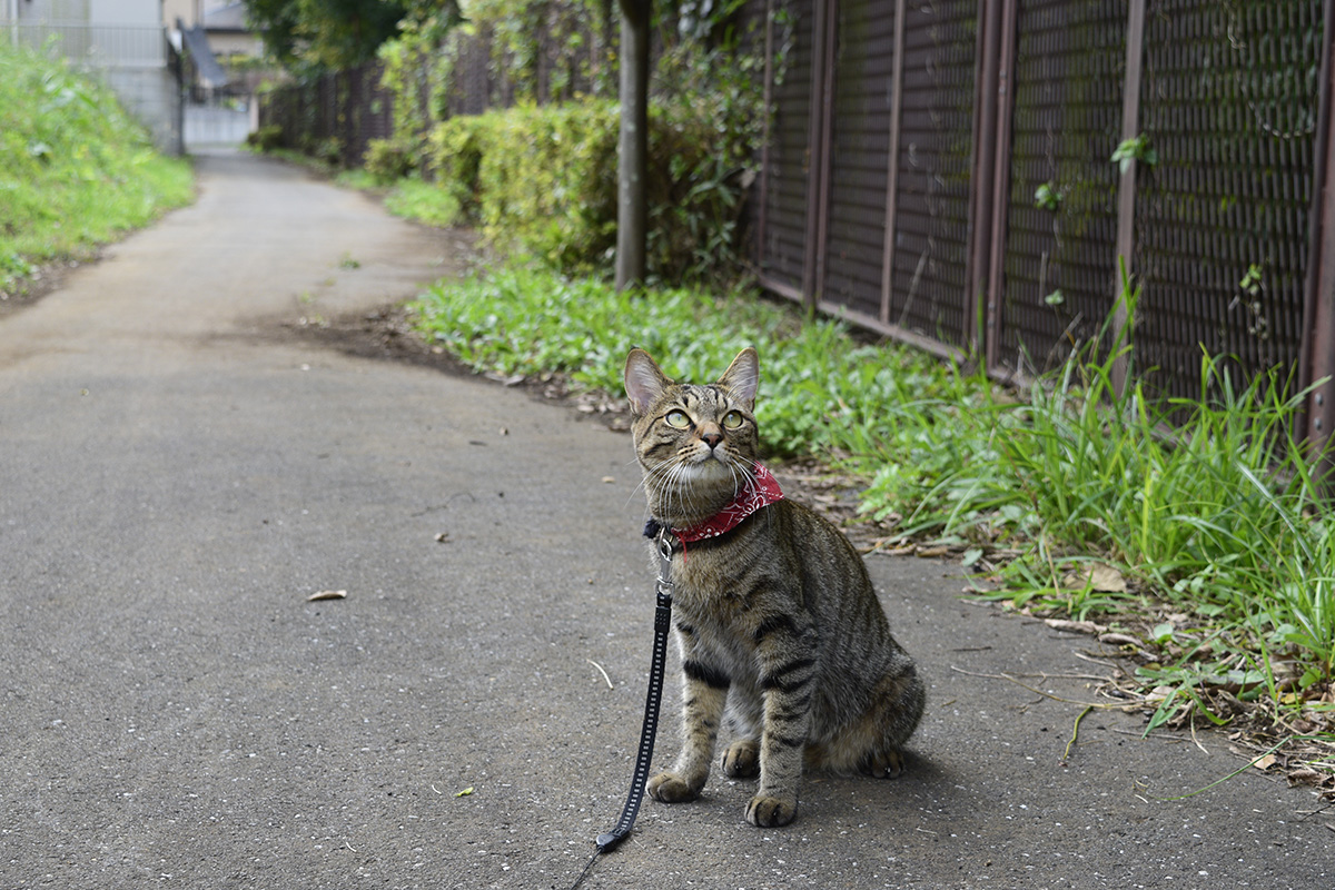 おすまし姿のキジトラ猫の虎ノ介