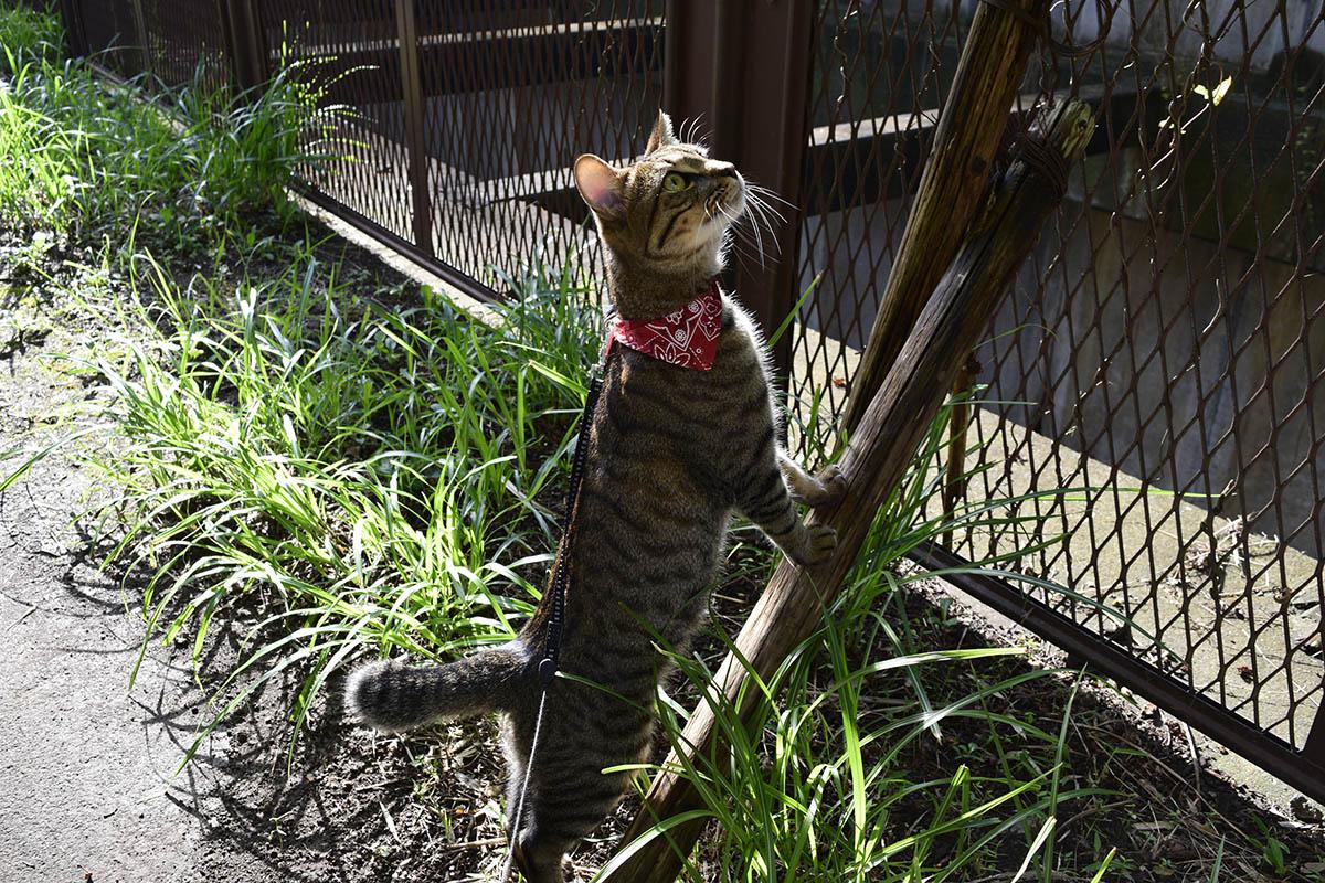 鳥をみあげるキジトラ猫の虎ノ介