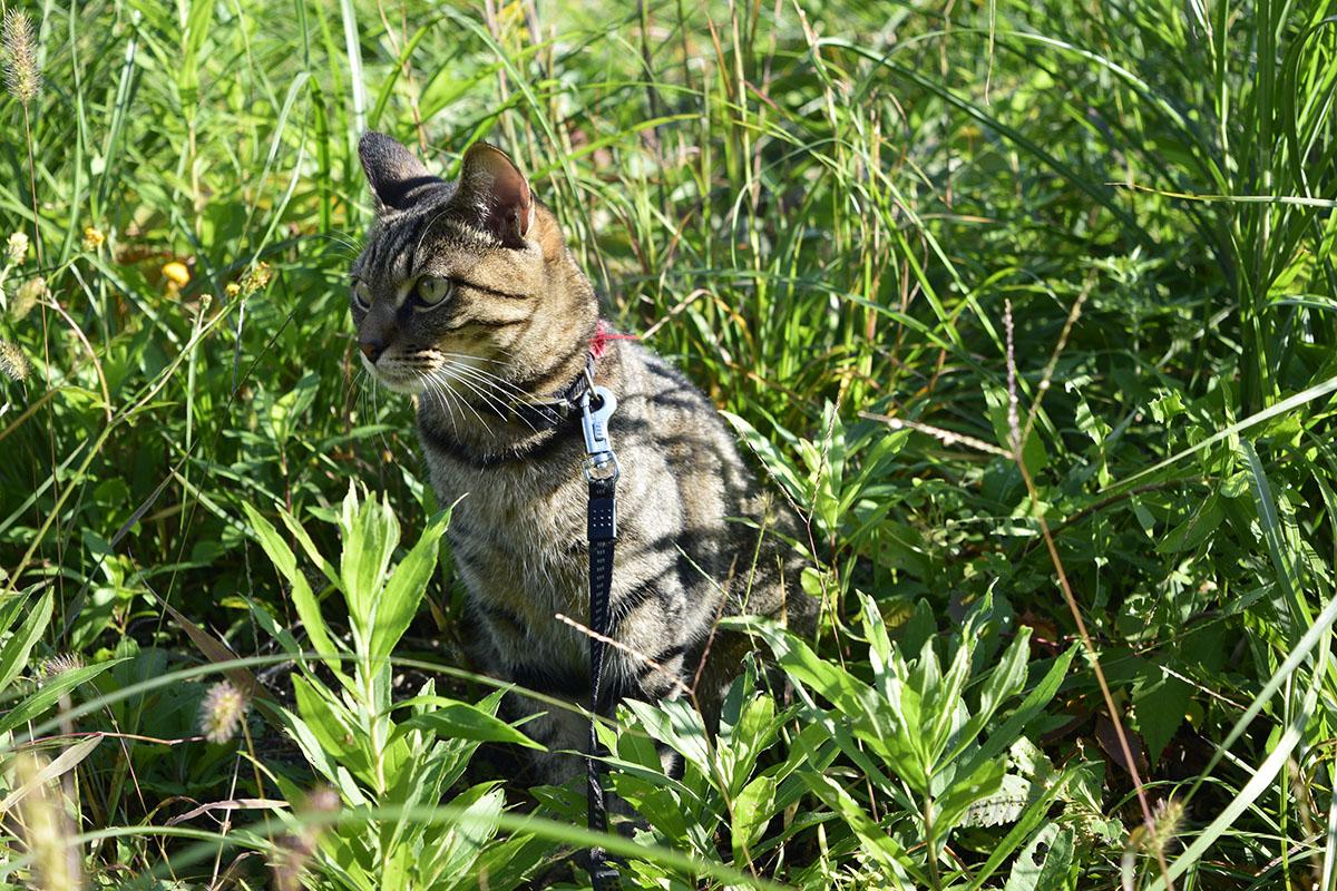 草むらにはいるキジトラ猫の虎ノ介