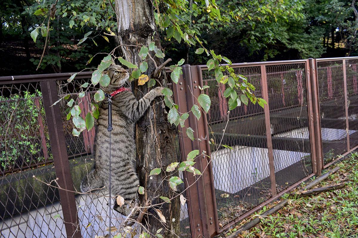 木に飛びつくキジトラ猫の虎ノ介