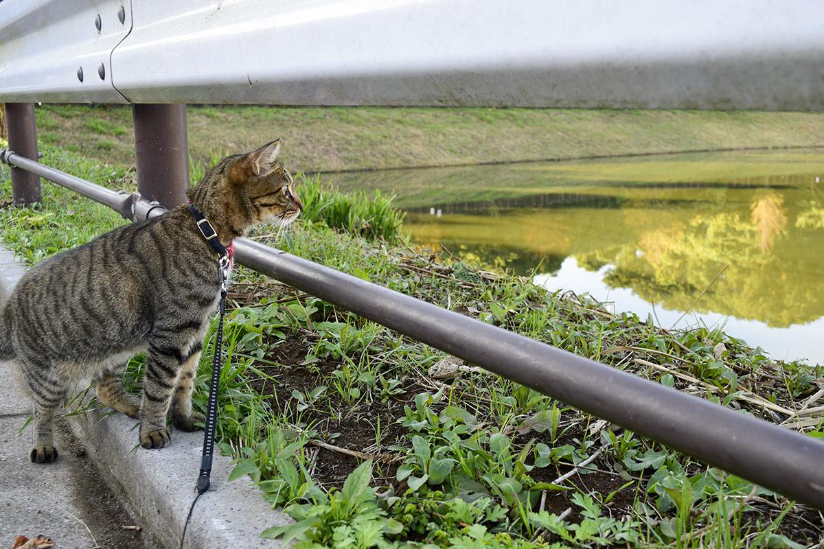 水面の秋を楽しむキジトラ猫の虎ノ介