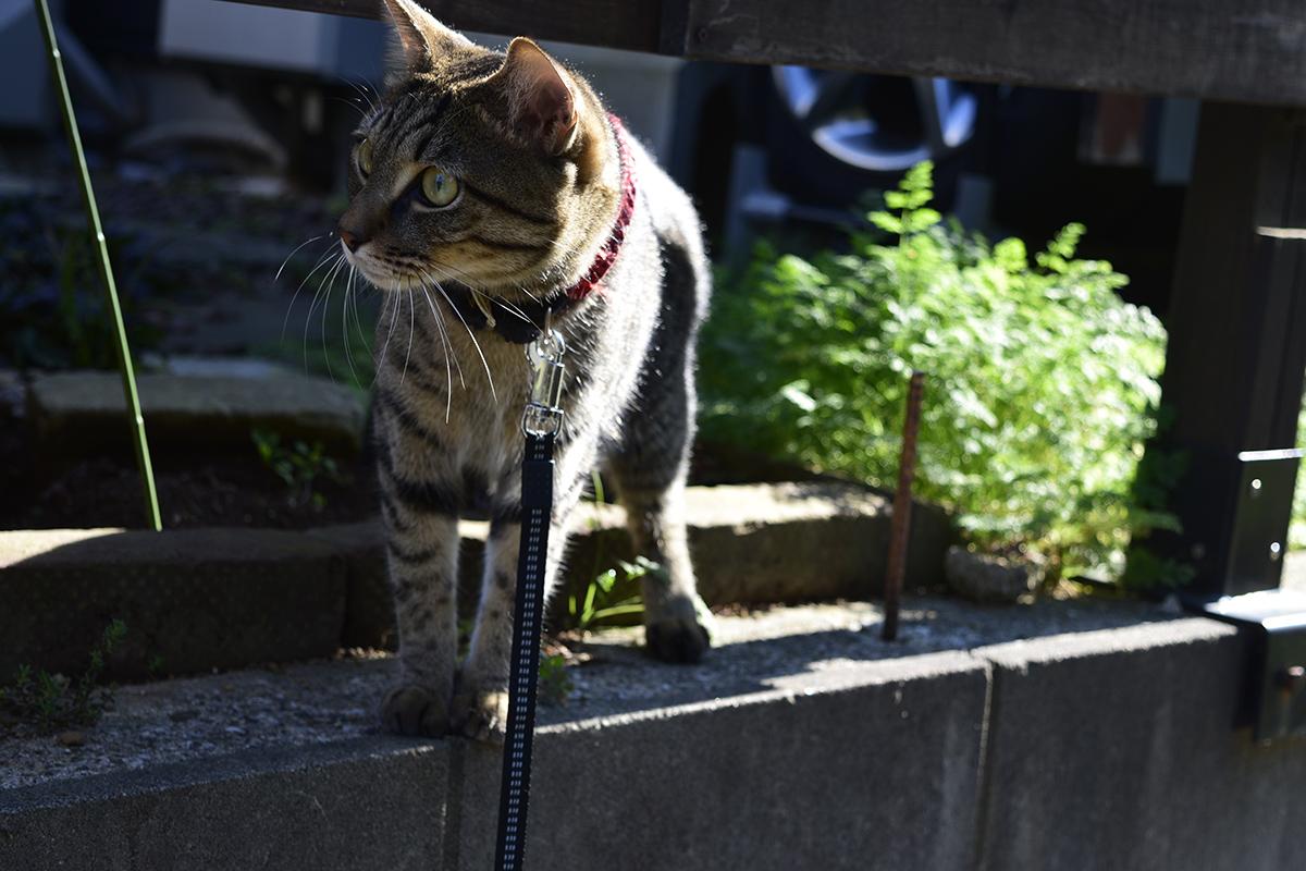 警戒するキジトラ猫の虎ノ介