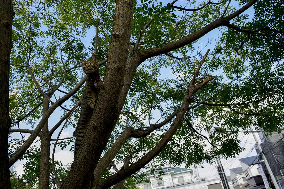 木に登るキジトラ猫の虎ノ介