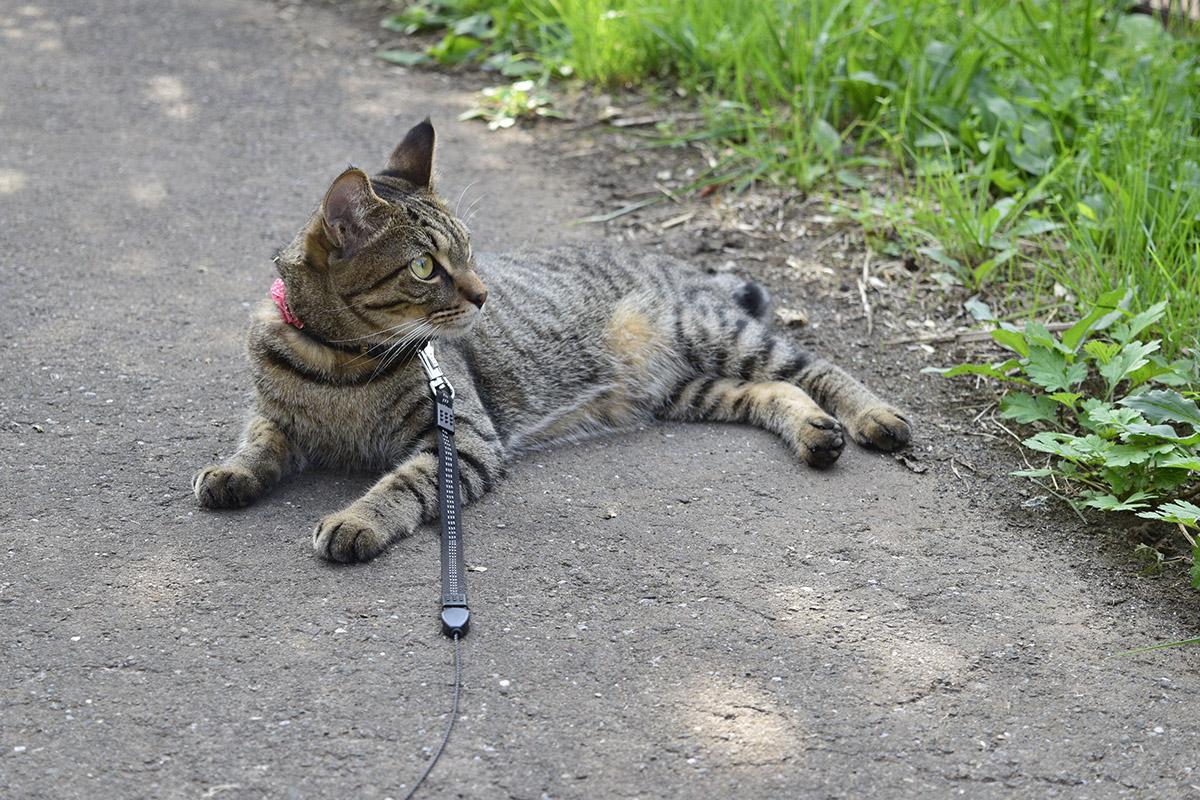 遊歩道でくつろぐキジトラ猫の虎ノ介