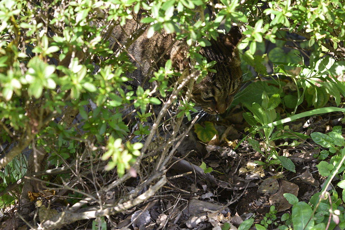 生垣にもぐりこむキジトラ猫の虎ノ介