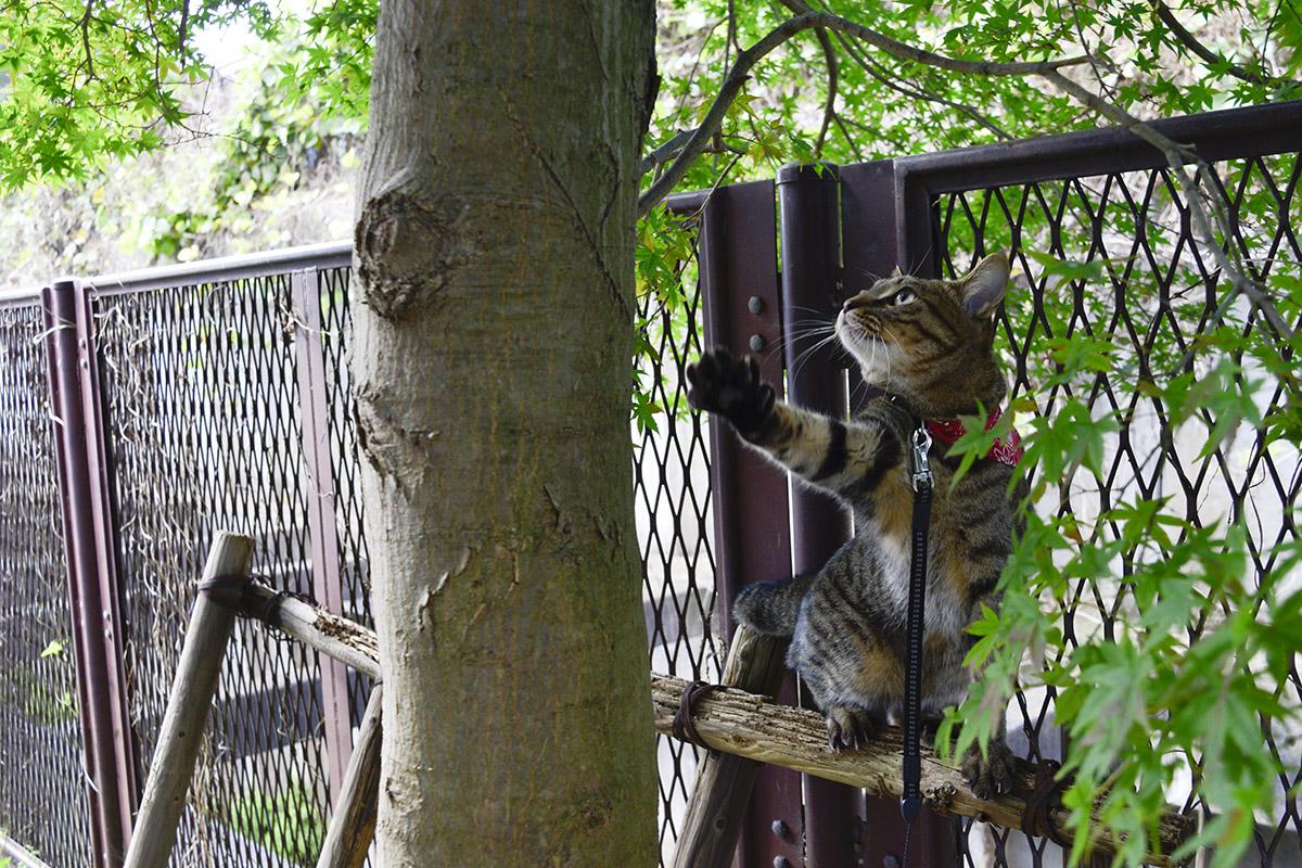木との距離を考えるキジトラ猫の虎ノ介
