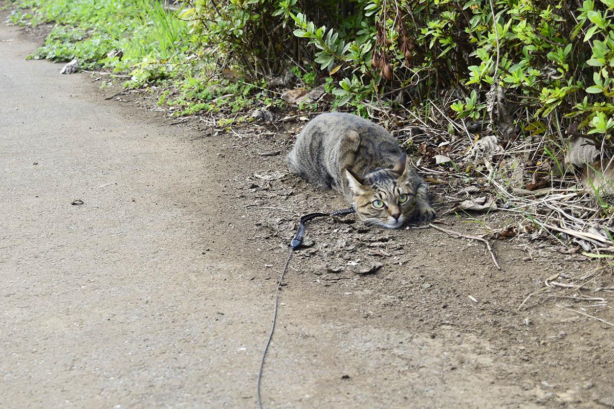 匍匐前進で鳥を狙うキジトラ猫の虎ノ介