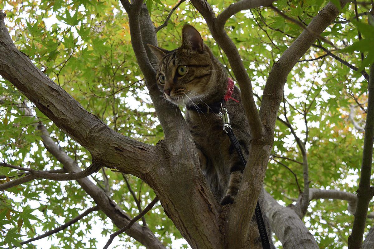 木によじ登るキジトラ猫の虎ノ介