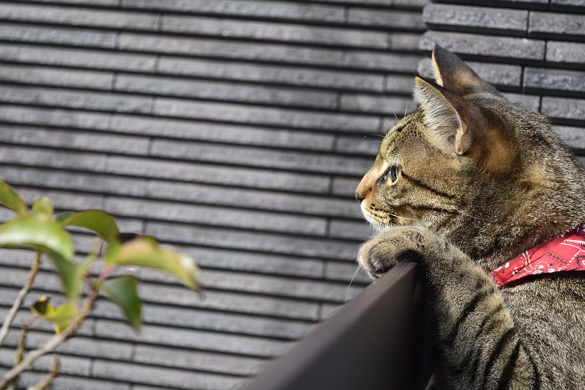 寒くてフェンスから遠くを眺めるキジトラ猫の虎ノ介