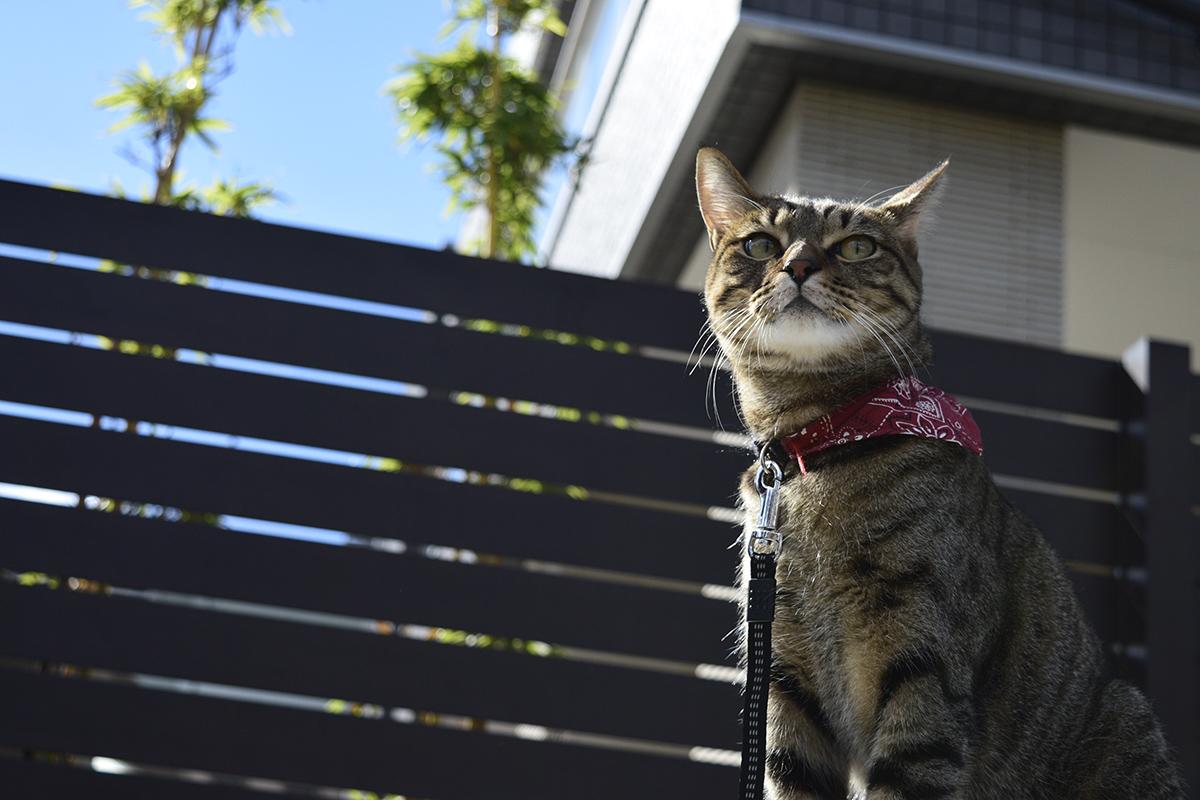 何か思いついたキジトラ猫の虎ノ介