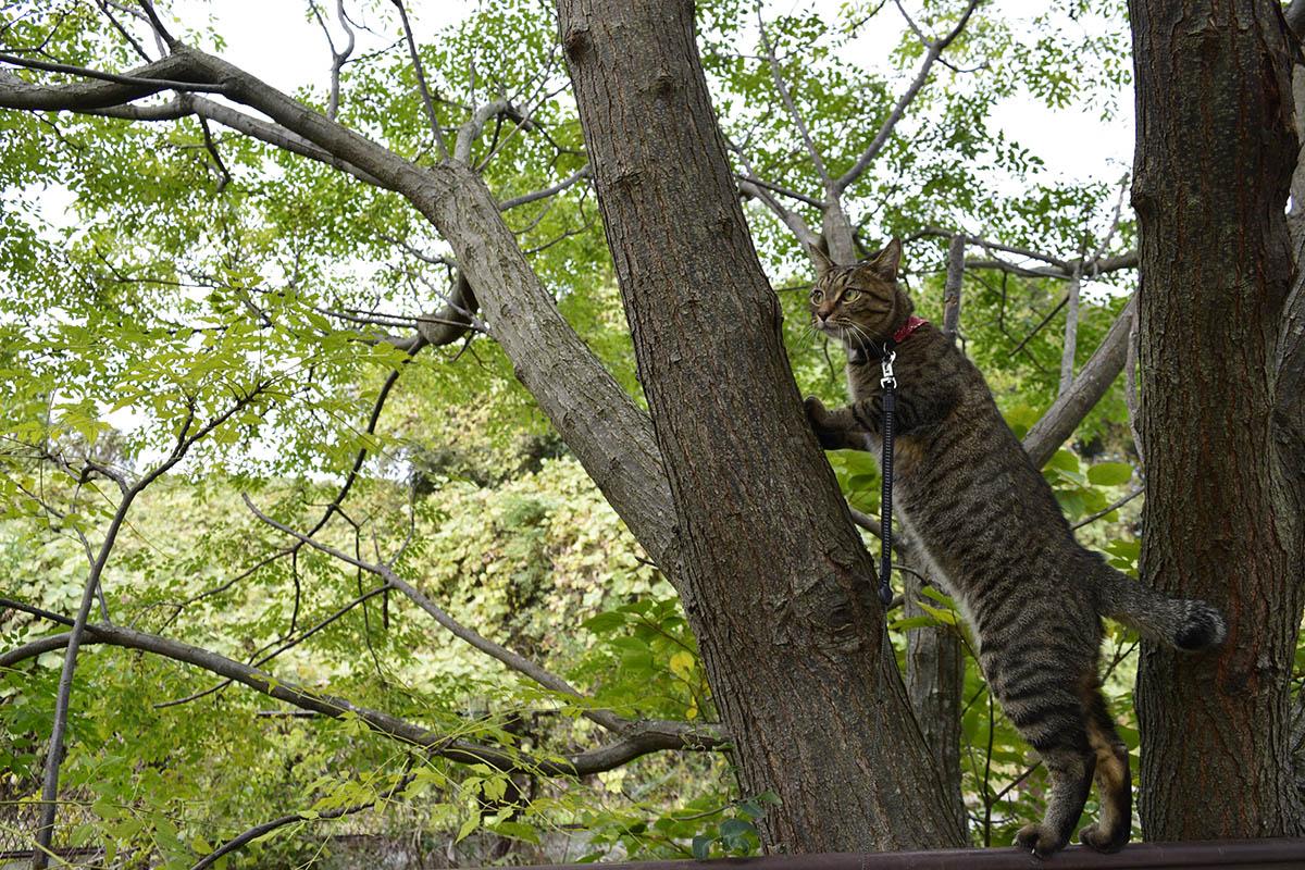 木に登り始めるキジトラ猫の虎ノ介