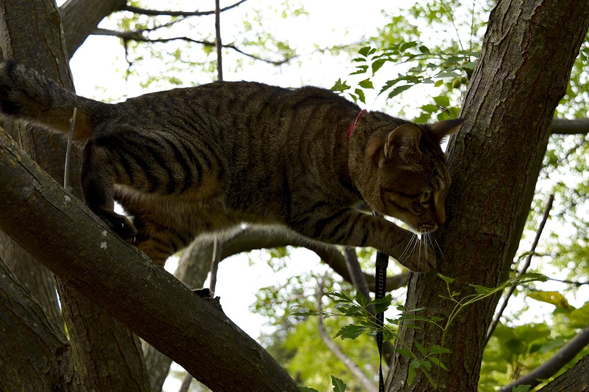 どんどん上にいくキジトラ猫の虎ノ介