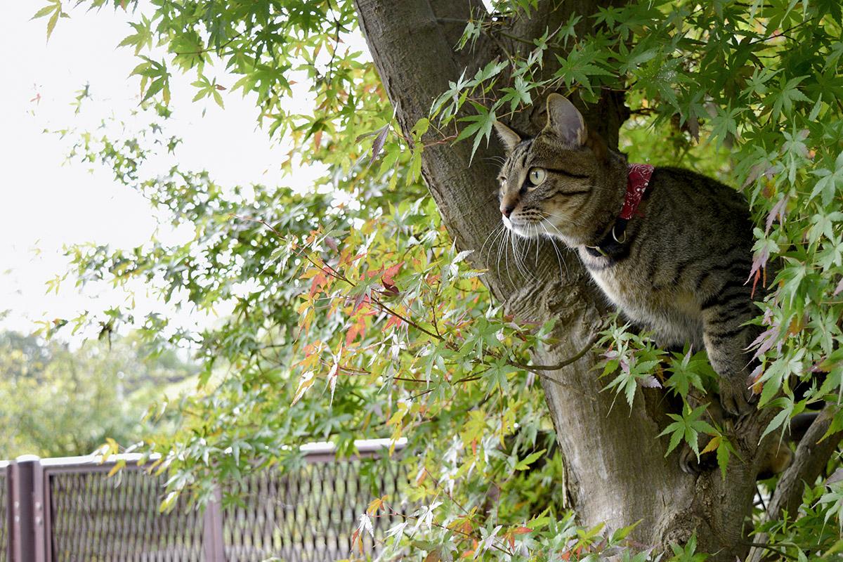 紅葉とキジトラ猫の虎ノ介