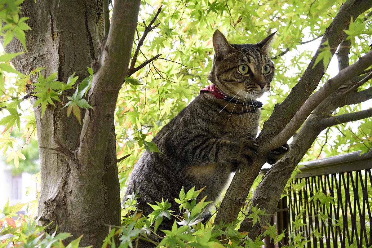 やっぱり木から降りられないキジトラ猫の虎ノ介