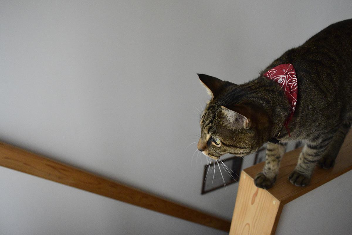 階段の手すりの上を歩くキジトラ猫の虎ノ介