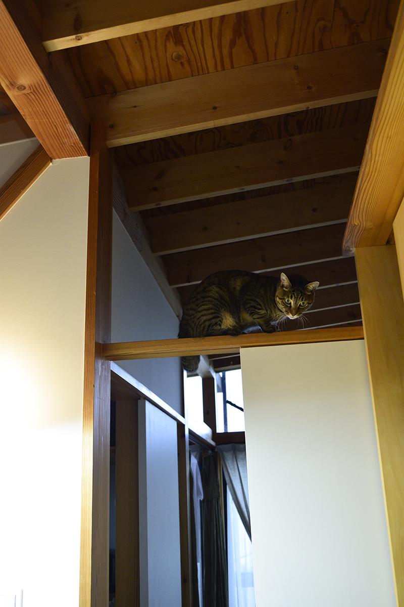 梁の上にあがるキジトラ猫の虎ノ介