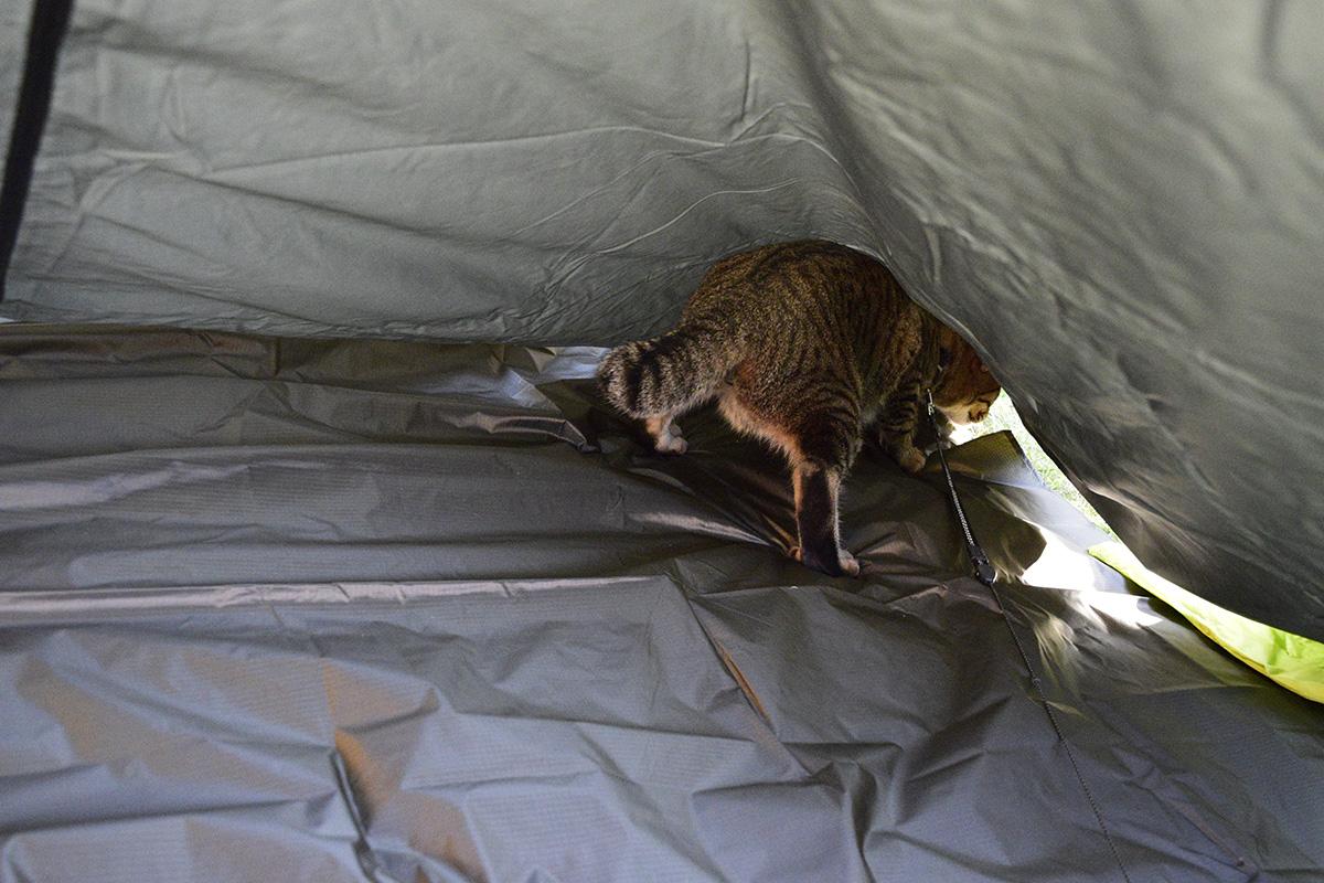テントの下にもぐりこむキジトラ猫の虎ノ介