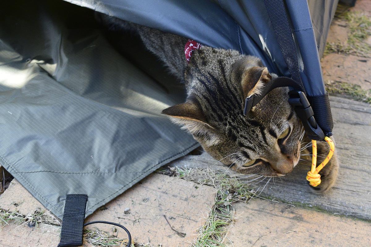 テントの紐で遊ぶキジトラ猫の虎ノ介