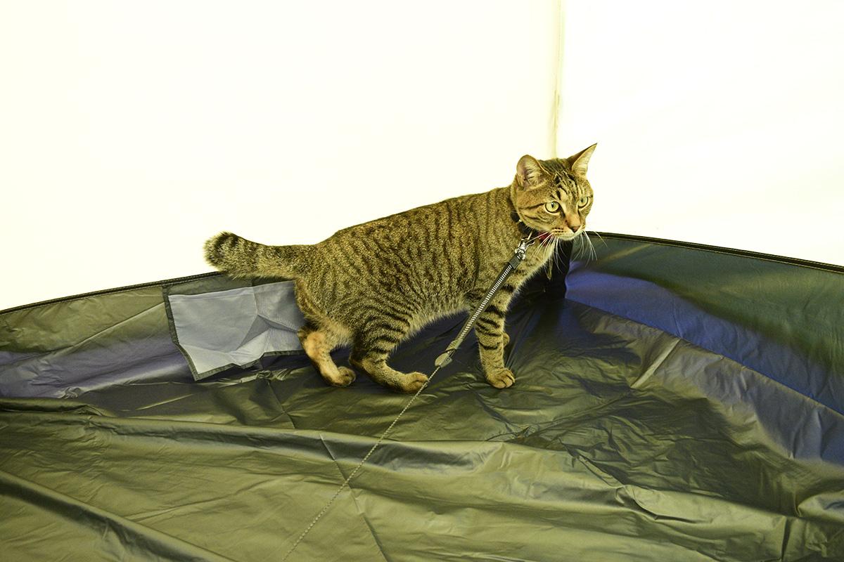 テントに入るキジトラ猫の虎ノ介