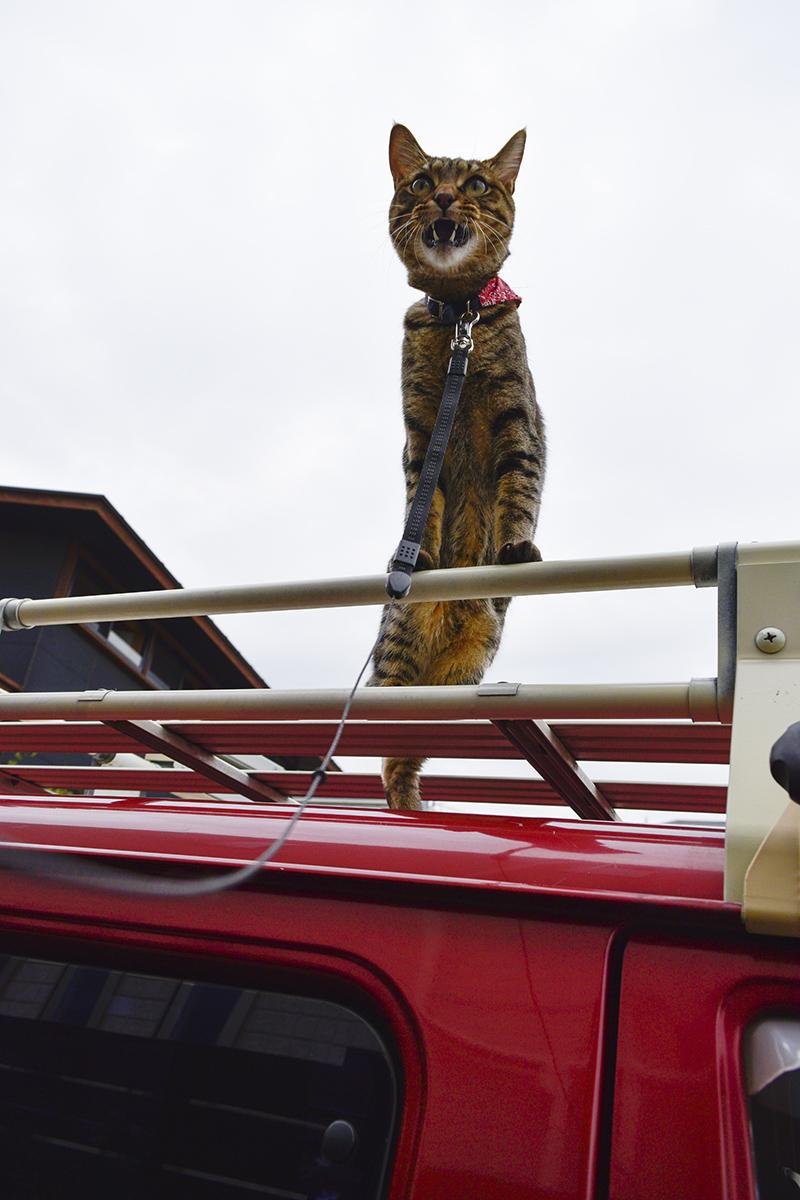 車の上で吠えるキジトラ猫の虎ノ介