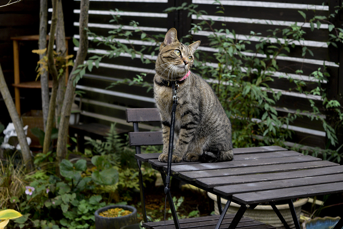 鳥が飛んで行ったのを眺めるキジトラ猫の虎ノ介