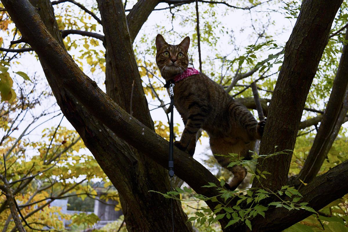 木に登って鳥を捕まえようとするキジトラ猫の虎ノ介