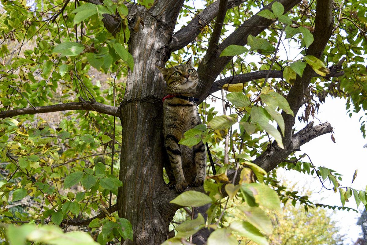 少し黄色になってきた木に登るキジトラ猫の虎ノ介