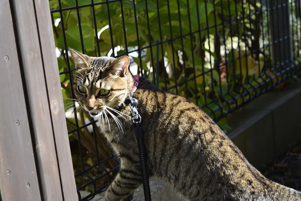 反論するキジトラ猫の虎ノ介