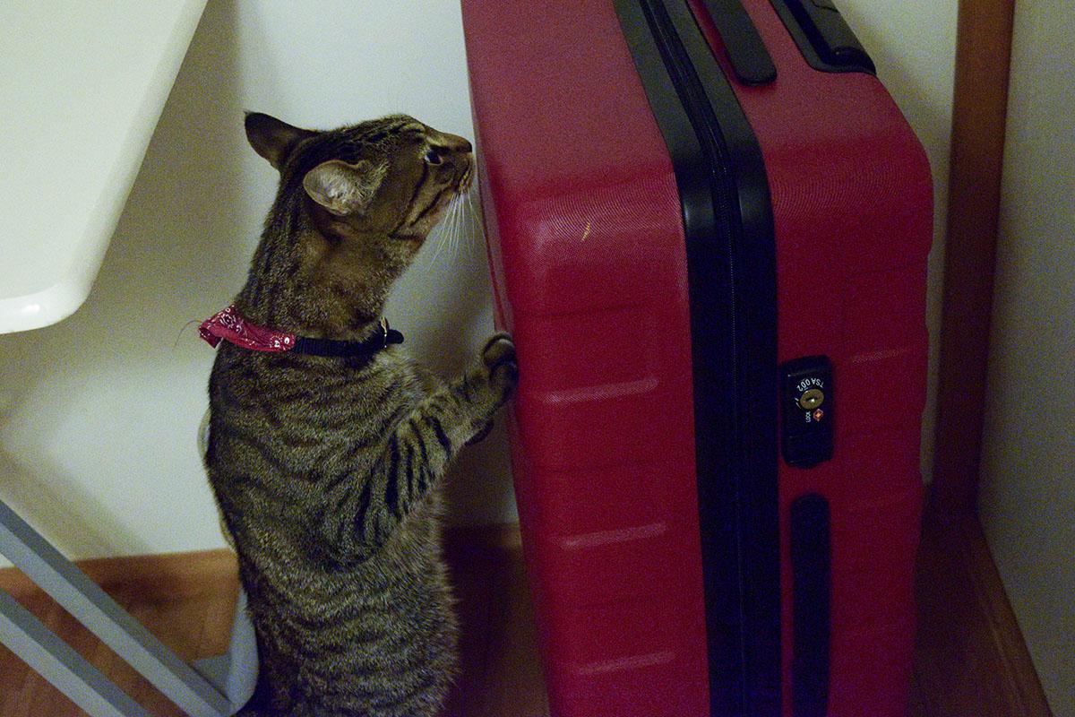 スーツケースのにおいをかぐキジトラ猫の虎ノ介