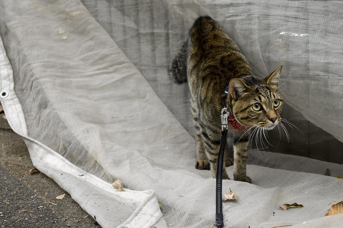 友達をみて驚くキジトラ猫の虎ノ介