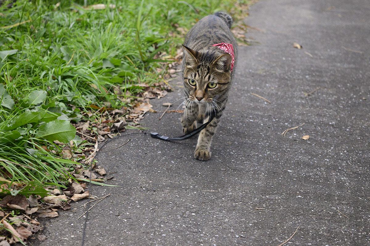 散歩道を闊歩するキジトラ猫の虎ノ介