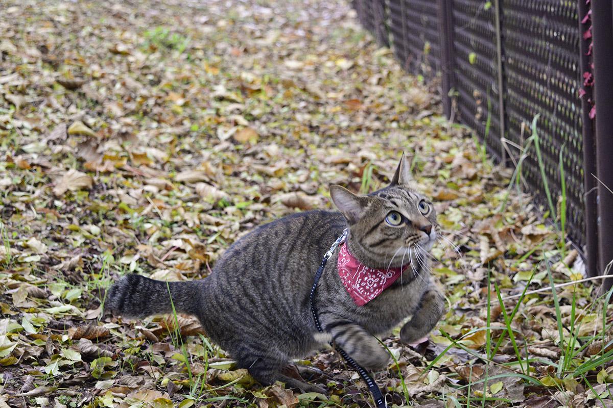落ち葉の上から飛ぼうとするキジトラ猫の虎ノ介