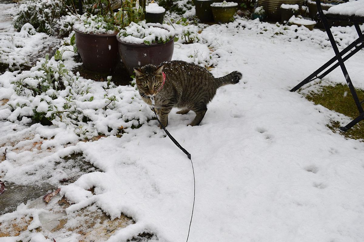 はじめてみた雪に驚くキジトラ猫の虎ノ介