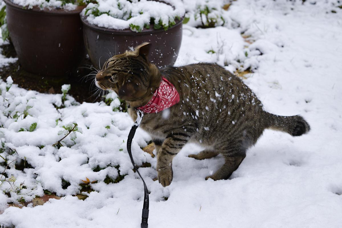雪を払うキジトラ猫の虎ノ介