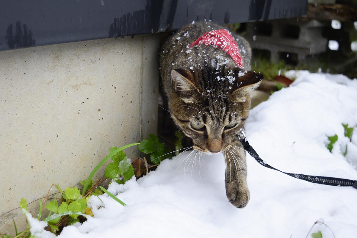 恐る恐る雪に乗るキジトラ猫の虎ノ介