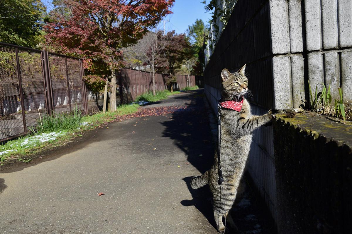 雪の音に驚くキジトラ猫の虎ノ介