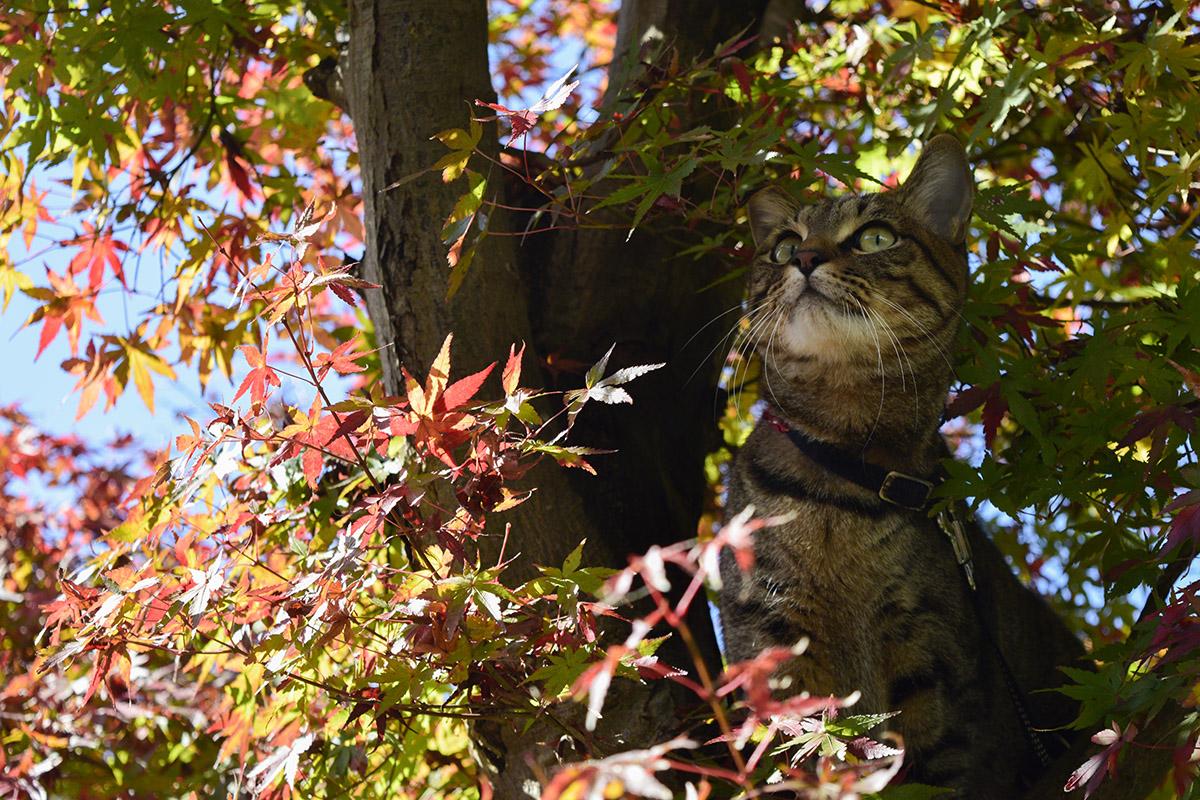 音の出所を探すキジトラ猫の虎ノ介