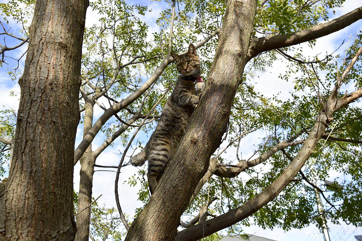 木の上のキジトラ猫の虎ノ介