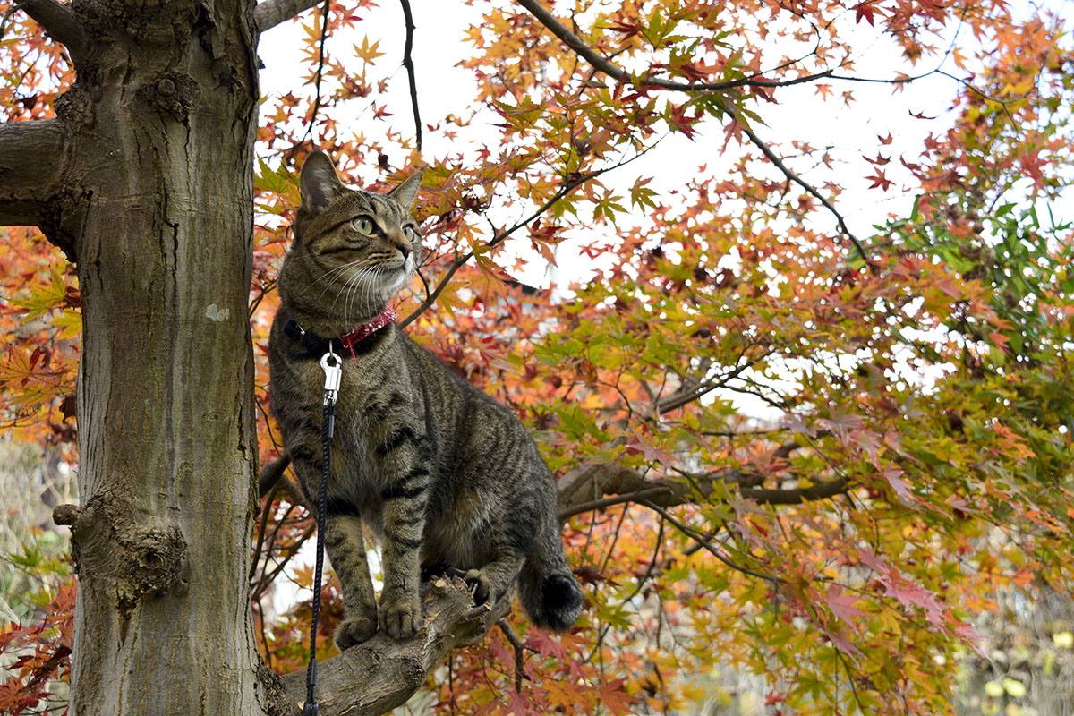 枝に立つキジトラ猫の虎ノ介
