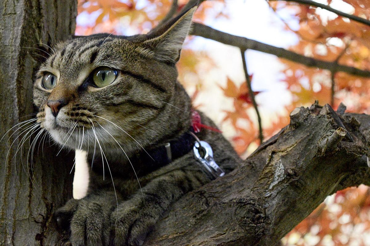 木の枝から顔をだすキジトラ猫の虎ノ介
