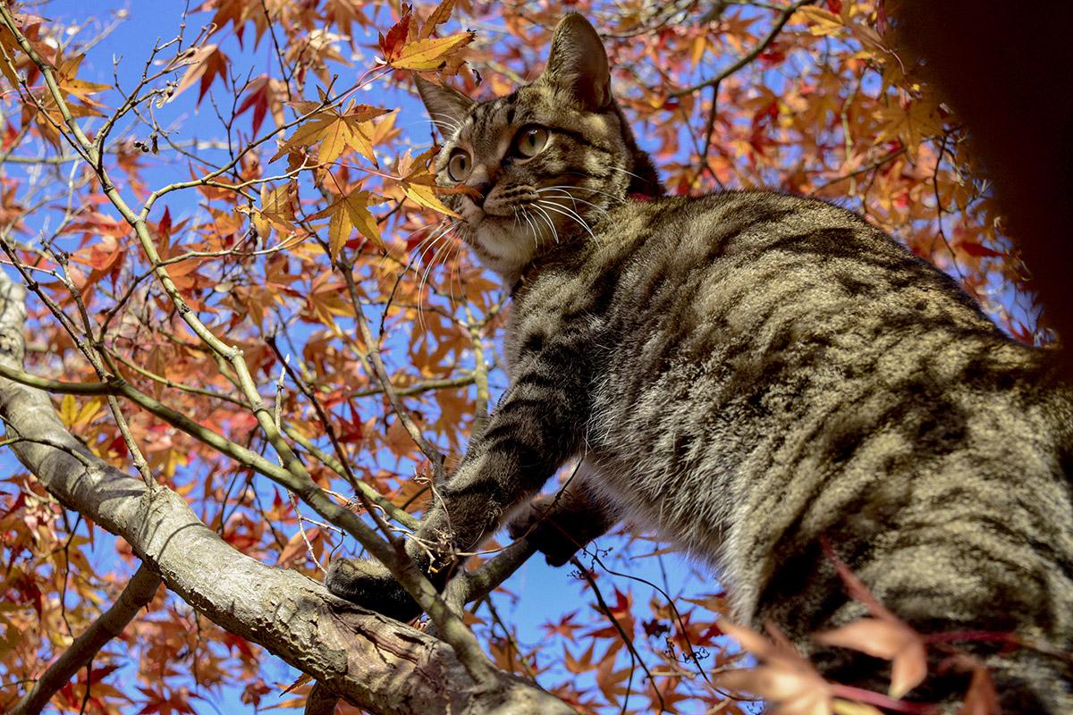 木から降りられなくなるキジトラ猫の虎ノ介