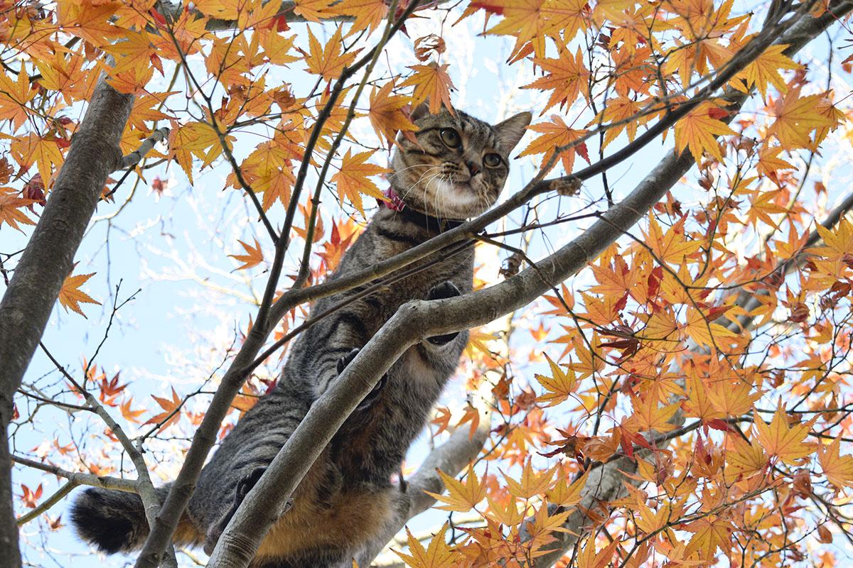 少し不満そうなキジトラ猫の虎ノ介