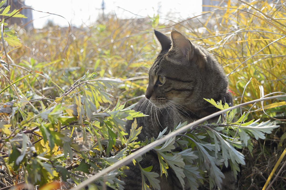 草むらで虫を探すキジトラ猫の虎ノ介