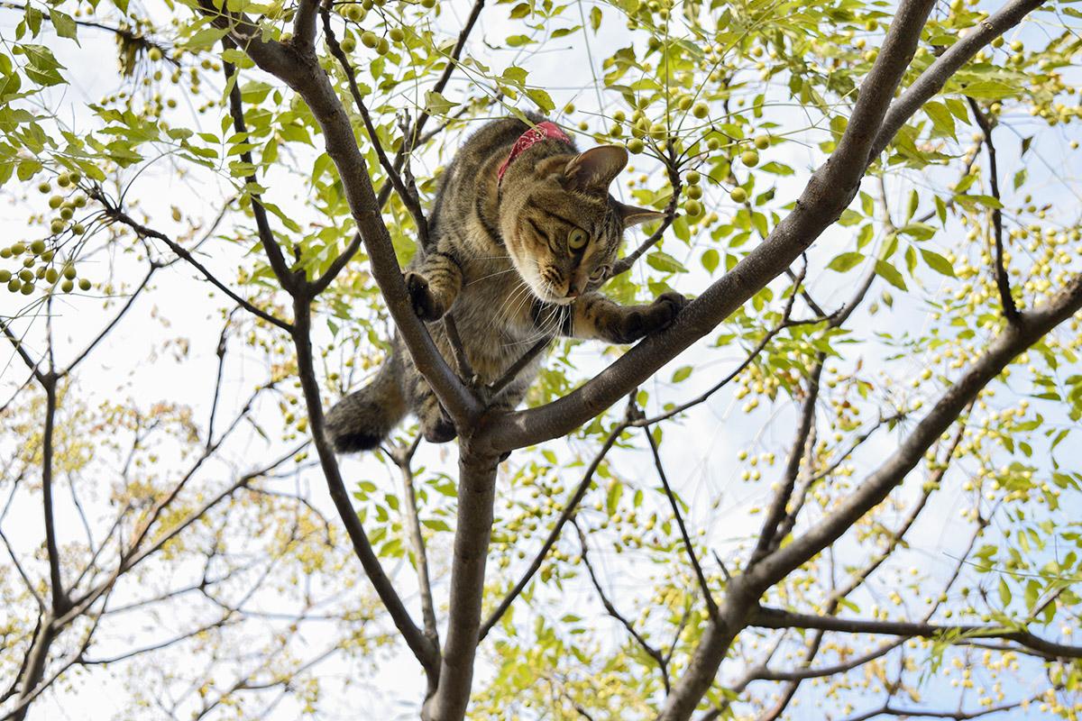 木の上から降りられなくなるキジトラ猫の虎ノ介