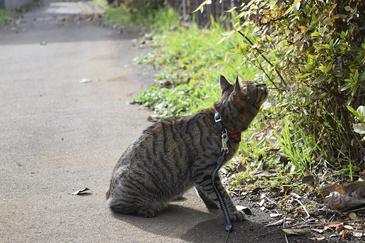 フェンスの向こうの鳥を見上げるキジトラ猫の虎ノ介