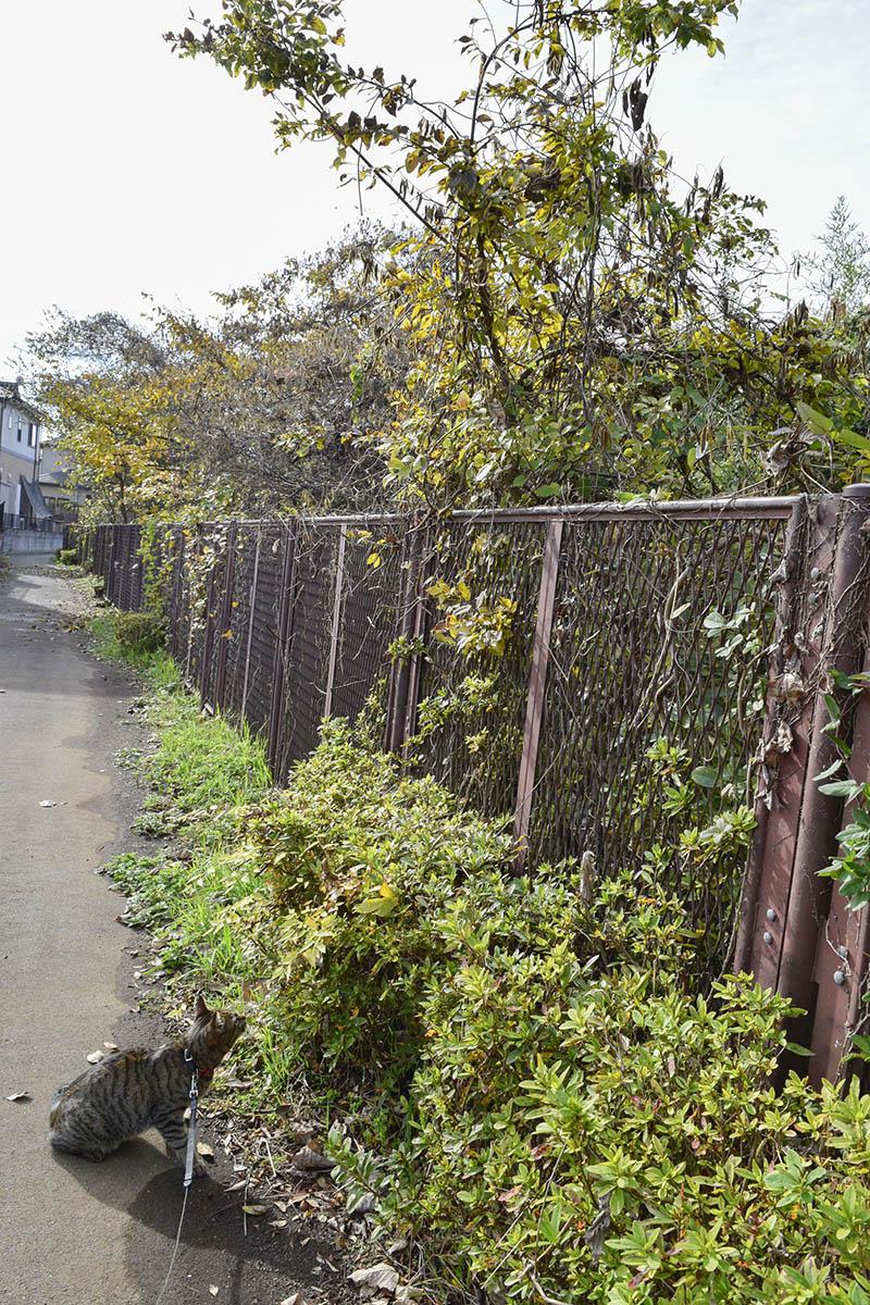 フェンスとキジトラ猫の虎ノ介
