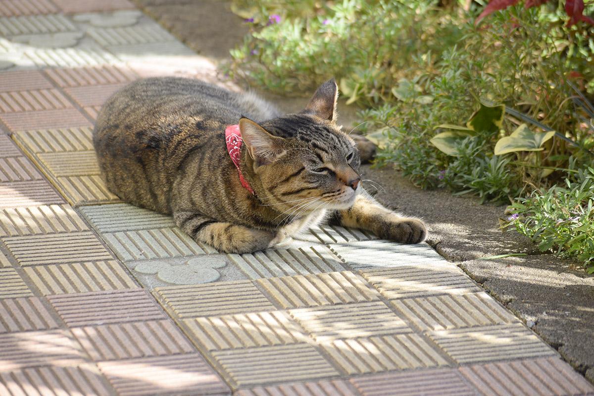 脱走して隣の家でくつろぐキジトラ猫の虎ノ介