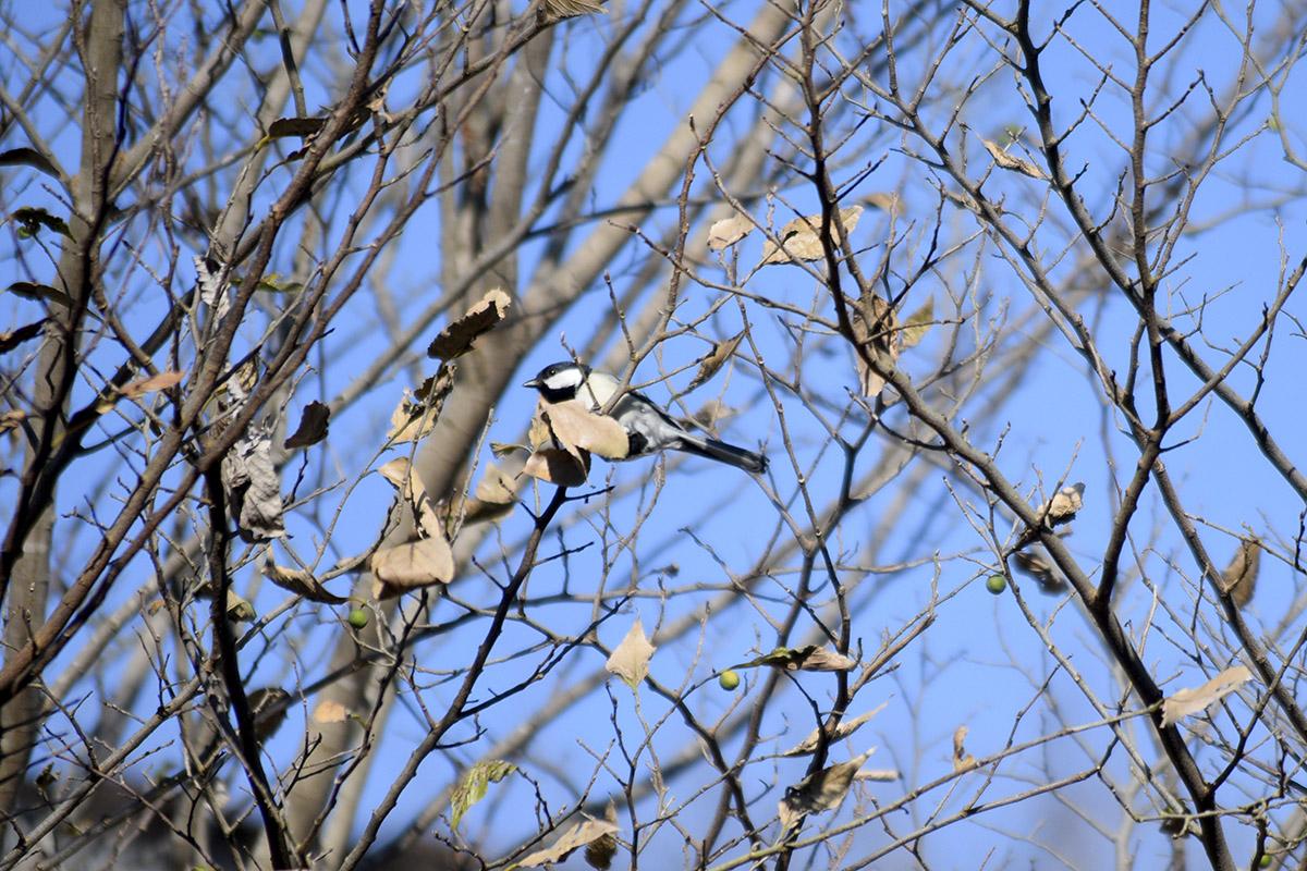 木の枝にとまるシジュウカラ