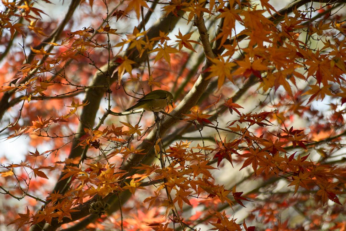 紅葉とメジロ
